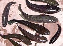 Cá chuối, cá lóc