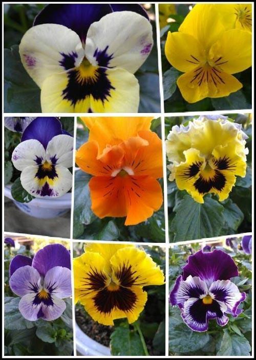 Hướng dẫn trồng, chăm sóc hoa păng-xê