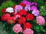 Trồng hoa phong lữ thơm phức tại ban công