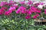 Kỹ thuật trồng cây hoa lan hồ điệp