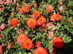 Kỹ thuật trồng và chăm sóc hồng tỷ muội