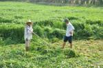 Kỹ thuật trồng cỏ voi và cỏ Sả nuôi bò