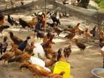 Kỹ thuật nuôi gà thả vườn