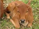 Bệnh tiên mao trùng ở trâu bò và cách phòng trị bệnh