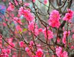 Bật mí tuyệt chiêu làm đào nở hoa đúng dịp Tết Nguyên Đán