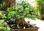 Kỹ thuật trồng cây khế Bonsai