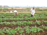 Kỹ thuật trồng khoai tây vụ đông