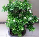 Kỹ thuật trồng và chăm sóc cây Nguyệt Quế phong thủy