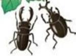 Phòng trừ bọ hung hại mía
