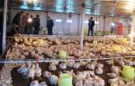 Kỹ thuật nuôi gà thịt công nghiệp
