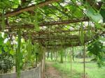 Kỹ thuật trồng và chăm sóc bầu sai trái