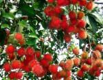 Quy trình để có trái chôm chôm chất lượng cao