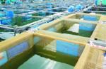 Kỹ thuật nuôi cá mú trong lồng lưới