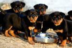 Chế độ dinh dưỡng cho chó con