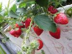 Tự trồng và chăm sóc Dâu Tây đơn giản tại nhà