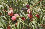 Kỹ thuật trồng và chăm sóc cây đào ăn quả