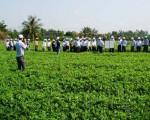 Mô hình trồng giống Đậu phụng sẻ Tây Nguyên xen với giống mì KM94