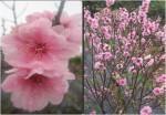 Phương pháp chăm sóc hoa đào nở đúng dịp tết