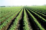 Trồng khoai lang làm rau sạch cho thu nhập cao
