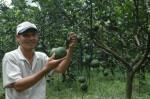 Kỹ thuật trồng và chăm sóc Cam Sành hiệu quả