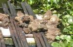 Phòng và trị một số bệnh thường gặp trên ếch nuôi