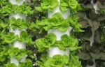 Mô hình trồng rau sạch tại nhà với chi phí thấp