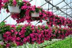 Trồng và chăm sóc hoa dừa cạn làm đẹp không gian