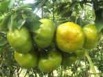 Kỹ thuật trồng cây quýt đường