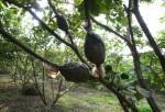 Kỹ thuật chiết cành ở cây ăn trái