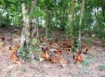 Mô hình nuôi thả gà trên núi