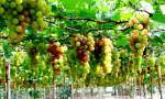 Kỹ thuật trồng Nho từ hạt