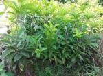 Kỹ thuật trồng và chăm sóc cây Hồng Xiêm