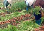 Biện pháp kỹ thuật nâng cao năng suất, chất lượng cà rốt
