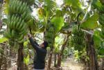 Kỹ thuật trồng và chăm sóc chuối tiêu hồng năng suất cao