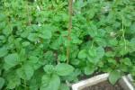 Cách trồng rau mồng tơi trong thùng xốp