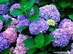 Phương pháp trồng hoa cẩm tú bằng hạt và bằng nhánh