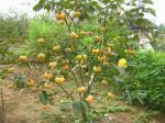 Cách trồng cây Hồng giòn không hạt