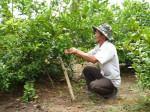 Kỹ thuật trồng cây chanh cho quả quanh năm, năng suất cao