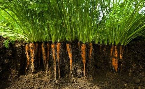 Cách trồng cà rốt tí hon tại nhà hay