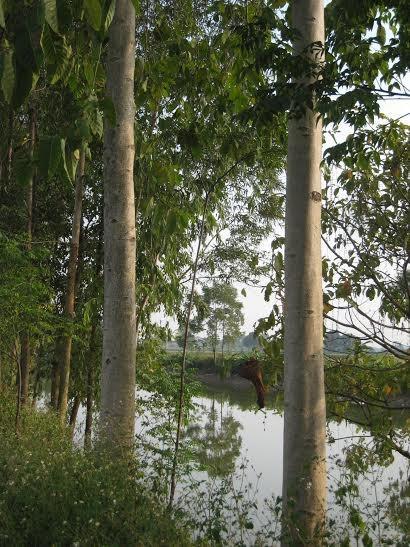cây thiên ngân thu hoạch nhanh