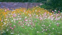 Trồng hoa cánh bướm trong vườn