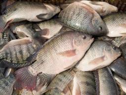 Quy trình kỹ thuật nuôi cá rô phi đơn tính