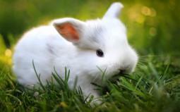 Bệnh tụ huyết trùng ở thỏ nuôi