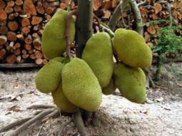 Kỹ thuật trồng và chăm sóc Mít Thái ra trái quanh năm