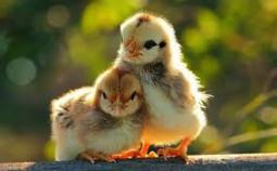 Kỹ thuật nuôi dưỡng gà con hiệu quả