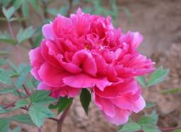 Các loài hoa hợp phong thủy cho gia chủ