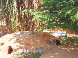 Mô hình nuôi Dông kết hợp nuôi Thỏ rừng