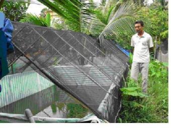 Mô hình nuôi ếch xen trong vườn dừa