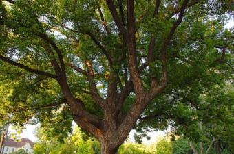 Kỹ thuật trồng và chăm sóc cây long não chữa bệnh