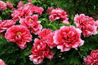 Kỹ thuật trồng và chăm sóc hoa mẫu đơn để cây có nhiều hoa